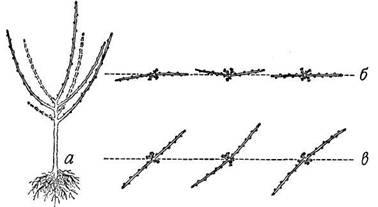 Схема обрезки двухлетнего саженца яблони и направления его основных ветвей