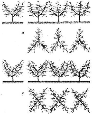 Схема размещения основных ветвей деревьев, сформированных в виде вазообразной кроны: а) из трех ветвей; б) из четырех ветвей