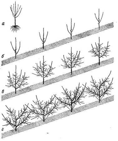 Последовательность формирований вазообразной кроны яблони из четырех ветвей: а) обрезанный до посадки двухлетний саженец; б) сориентированные при посадке саженцы; в) четырех-, пятилетние деревья перед формированием кроны; г) вид сформированных деревьев.
