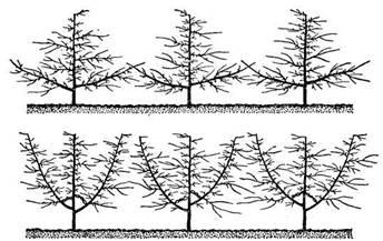Схема построения комбинированной (вверху) и вертикальной одноярусной (внизу) пальметт