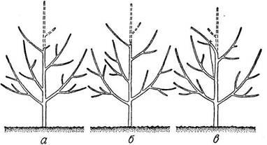 Схема раскрытия центра кроны плодового дерева