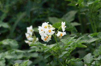 картофель цветет