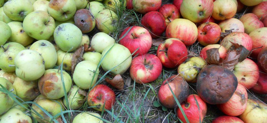 Падалица, яблоки, гнилые плоды, вредители, уборка сада